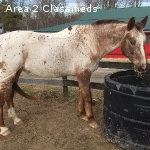 16HH 10 y/o Appaloosa X Dutch Warmblood mare for sale