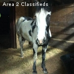 6 year old quarter horse mustang cross for in barn lease