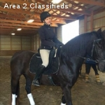 6 yo morgan gelding for loving homes.