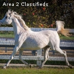 Amazing mare Arabian Horses for sale now