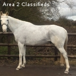 Cruise stunning allrounder 15.1 hands ideal for a novice