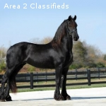 Elegant all round broke Frisian Mare 6 years