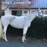 Great Mare wanting Intermediate rider to compete