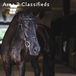 Hanoverian - Fancy mare w/ talent to excel in any discipline