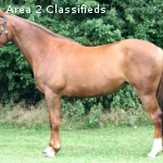 HONEY: 16hh 7 Year Old Chestnut Warmblood Mare