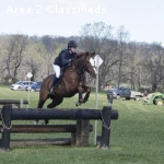 Mojave Moon- 12-year-old 16 h TB gelding