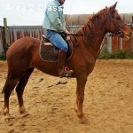 potential Prize winning Warmblood Mare 16.2 hands 4 yrs