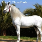 PRE 15.3 hands,8 yrs Stallion Andalusian for sale