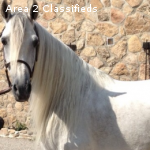 Purebred  fairytale Andalusian Gelding 15.2 hands 8 yrs Old