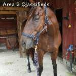 Safe, Easy Going, Forgiving Gelding