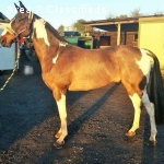 SSCharming 4 yrs Warmblood Gelding and others for sale
