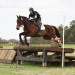 Talent Thoroughbred Gelding