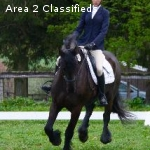 Talented Eventing Friesian!