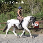 XX Super 8yr old All Rounder 15.2 hands Warmblood Gelding Fl