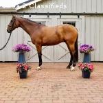2010 16.3h Imported Fancy bay Irish Sport horse gelding