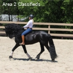 2012, 16.2 HH, BRAVE, OUTSTANDING 16.1 HH Friesian Gelding