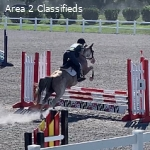 Ace- 14.2 hh gelding, perfect kids or amateur adult mount