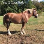 all round belgain horse