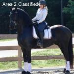 all round freisain  horse