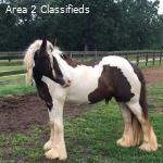 all round gypsy vanner horse
