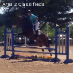 Dolly, 16 Hand Bay Thoroughbred Mare