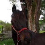 FANCY Dark Bay OTTB Gelding