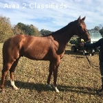 MAKE OFFER-3 year old OTTB gelding