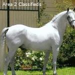 Stunning White Hanoverian Gelding