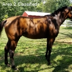 TB mare ready to be your next partner!